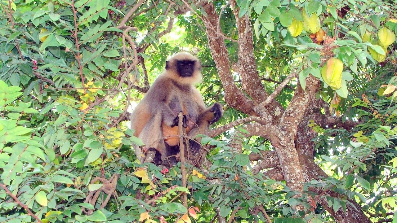 Mono Langur sentado en un árbol / Pachmarhi
